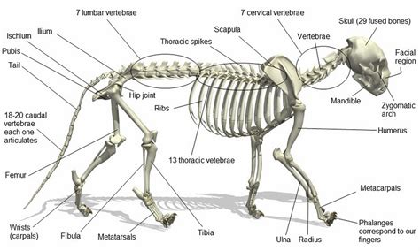 cat skeleton diagram about cats cat anatomy
