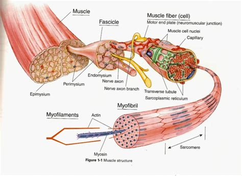 diagram of anatomy anatomy of skeletal fiber human anatomy diagram