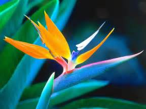 bird of paradise flower pictures meanings