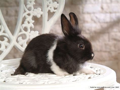 black and white rabbit wallpaper black and white rabbit photos studio shot 9 wallcoo net