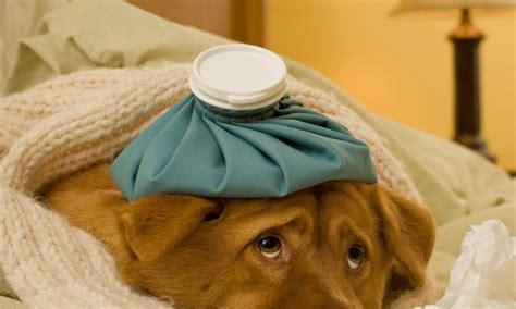 puppy cold symptoms how to treat cold and flu in dogs smart tips