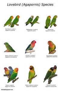 agapornis janecabirds