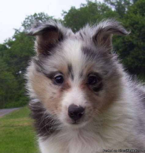 blue merle sheltie puppies akc sheltie blue merle puppies ready now price 600 00 in cumberland