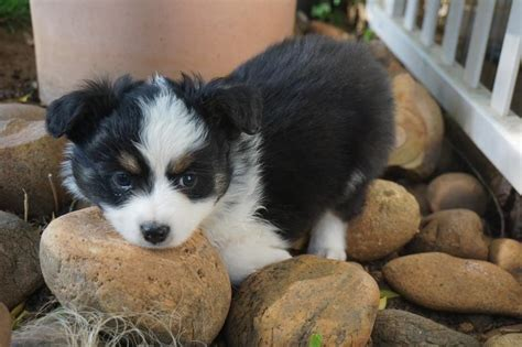 mini aussie puppies for sale in mini aussie puppies for sale boys all sold