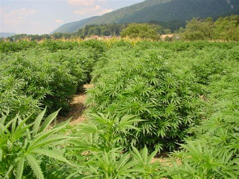 canapé cyrus habitat cannabis seg 250 n el clima