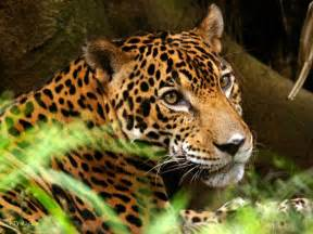 Jaguars Photos Jaguars Images A Jaguar Hd Wallpaper And Background Photos