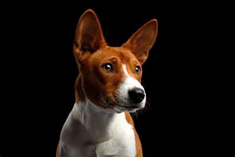 picture dogs basenji dog snout glance animals black background