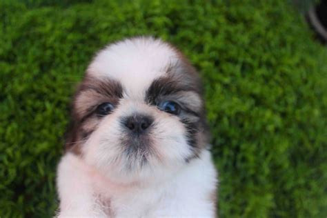 shih tzu color shih tzu color chart pictures to pin on thepinsta