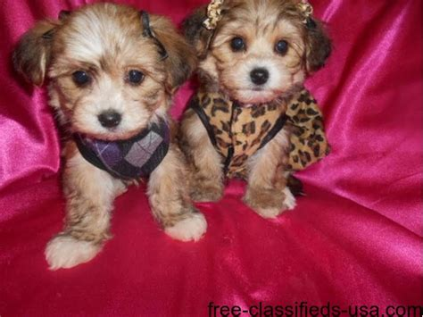 yorkie puppies missouri two beautiful yorkie puppies for free adoption animals meadville missouri