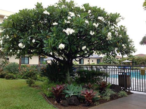 plumeria tree florida 25 best ideas about plumeria tree on pinterest plumeria