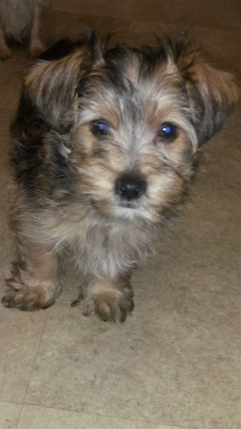 yorkie apso pin yorkie apso puppies image search results on