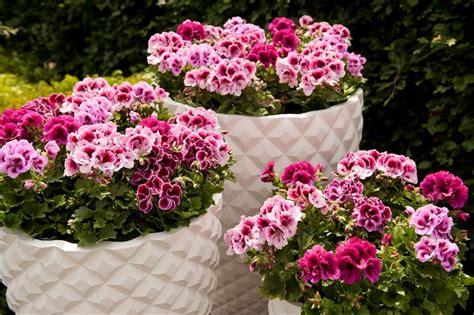 gerani fiori il geranio fiori in giardino caratteristiche geranio