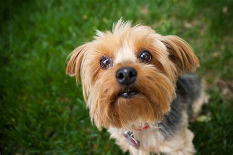 yorkie breed bustering the myths about terriers 187 terrier kennel