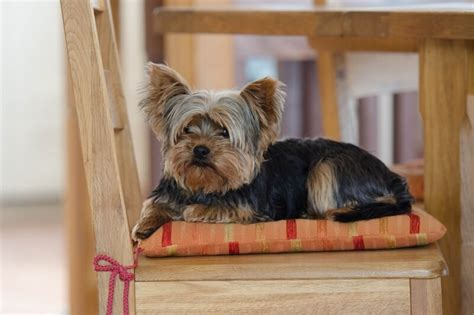 how to groom yorkies terrier facts