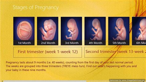 pregnancy stages day by day chances of getting low count stabbed stages of