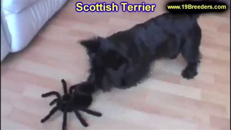 scottish terrier puppies florida scottish terrier puppies dogs for sale in jacksonville florida fl 19breeders