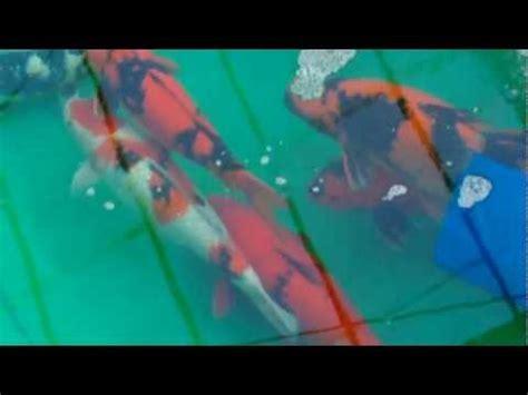 Jual Bibit Ikan Koi Import jumbo koi 80cm onwards funnydog tv