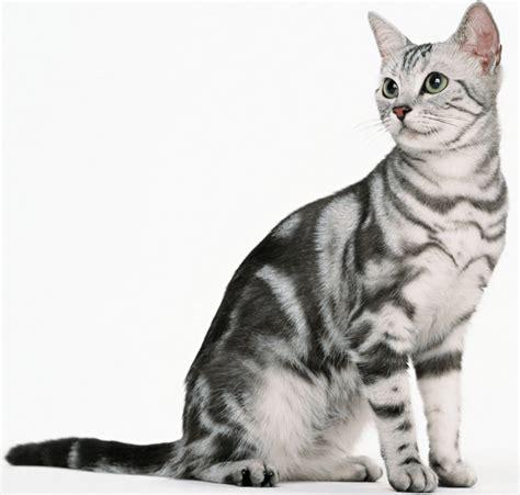 Kucing Shorthair daftar harga kucing american shorthair terbaru juli 2018