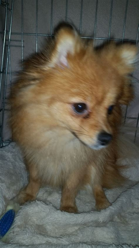 pomeranian puppies for sale lancashire gorgeous pomeranian for sale blackpool lancashire pets4homes