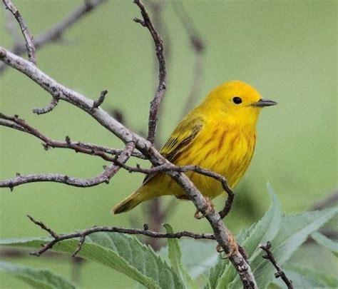 yellow bird yellow pinterest
