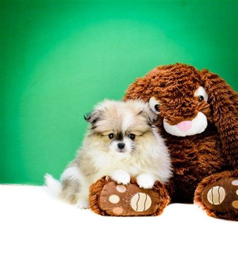 teacup pomeranian puppies for sale in toledo ohio 1000 images about t cup puppies for sale on pomeranian puppies