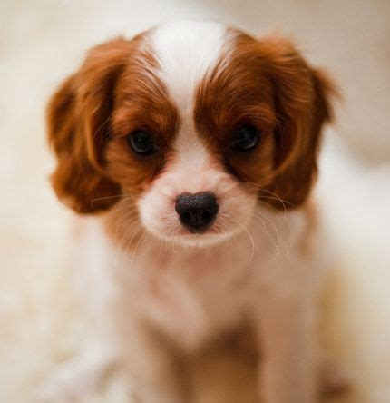 how much are cocker spaniel puppies cocker spaniel puppy in and white 1 comment