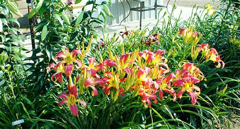 Heavenly Gardens Daylilies by Daylilies For Sale Home Of Heavenly Gardens