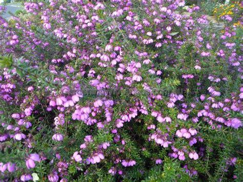 australian flowering shrubs bauera rubioides