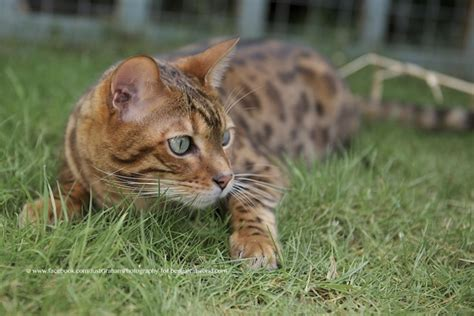 can you train a cat to go outside for bathroom bengal cat facts bengal cat world