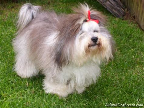havanese breeds havanese small dogs