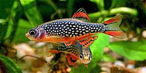 Ikan Rednose Untuk Aquarium Dan Aquascape ikan yang cocok untuk penghias aquascape