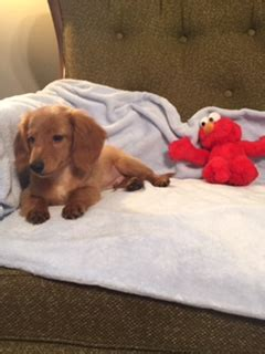 miniature dachshund puppies for sale in arkansas miniature dachshund puppies for sale in arkansas