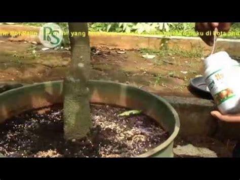 Bibit Jambu Air Karawang ims net tv liputan tabulot williams agrotama karawang