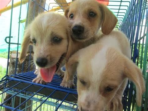 pet shop puppies for sale puppies for sale at roadside pet store in the philippines
