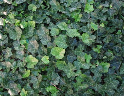 english ivy margaret s garden blog