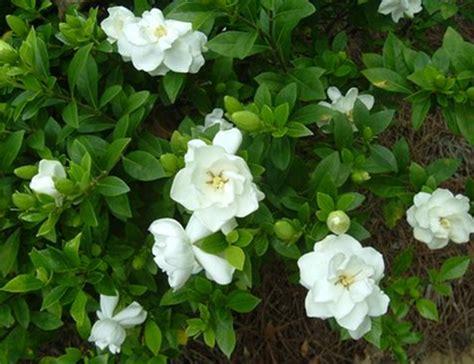Gardenia Bush For Sale Gardenia Plants For Sale In Ta Brandon Apollo