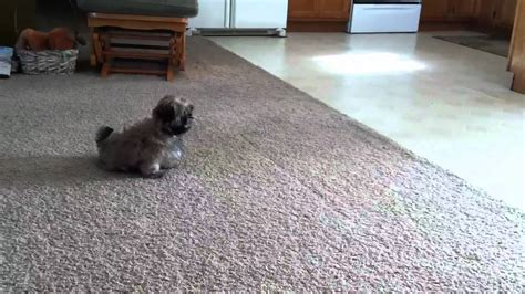puppy poops on the floor