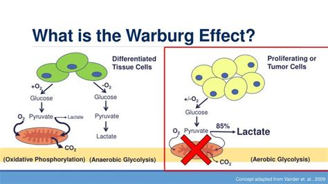 What Is The by Ppt Warburg Effect Oncology Powerpoint Presentation