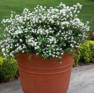 deutzia yuki snowflake garden flowering shrubs easy