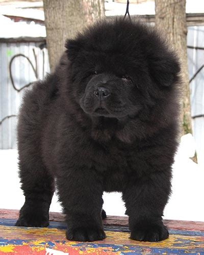 black chow puppy 30 most amazing black chow chow pictures and images