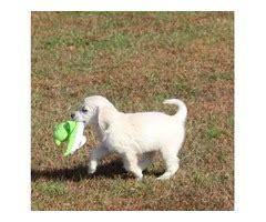 golden retriever puppies 500 dollars american free classifieds