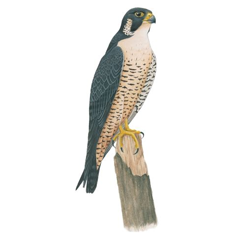 peregrine falcon celebrate urban birds