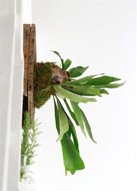 fern     hang  diy staghorn fern staghorn