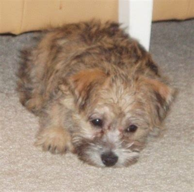 havanese shih tzu mix temperament havanese mixed medium coat breeds picture
