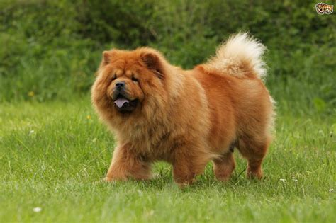 chow chow chow chow hereditary health and genetic diversity pets4homes