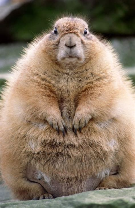 groundhog day drink community post 10 cutest groundhog pictures