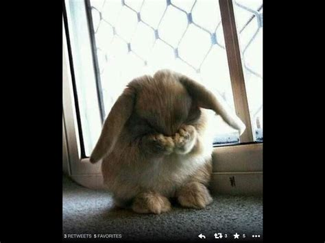devrabbits albums imgur image gallery sad bunny