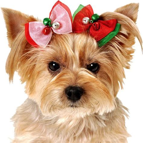 yorkies with bows yorkies with bows hair yorkie bows hair bows bows for yorkies and accessories