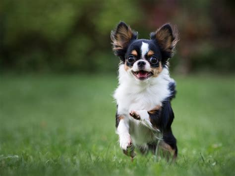 small medium breeds small medium breeds breeds puppies small medium breeds ideal for