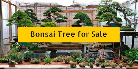 trees for sale cheap as 25 melhores ideias de bonsai trees for sale no